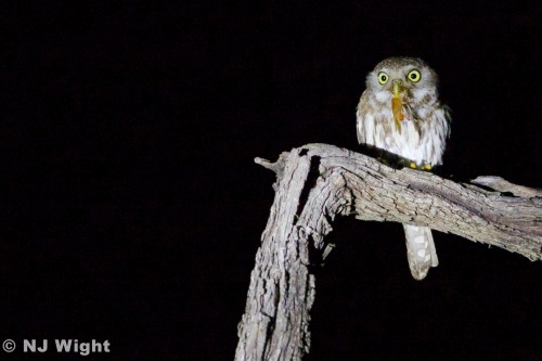 NJ Wight's Wild! Life — Tiny pearl spotted owlet with great big bug. (go...