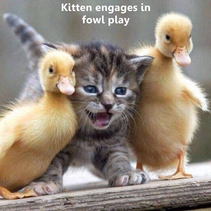 #lol#cat#cats #Kitten engages in fowl play
