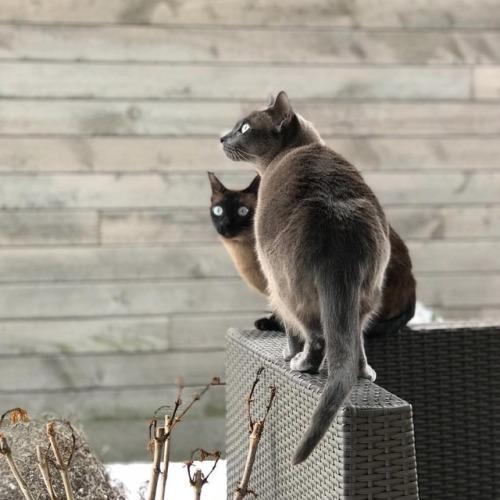 Фото породы Тонкинская кошка (Токинез)