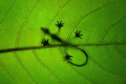 (via 500px / Sunbathing Gekko on Leaf by Leon Dafonte Fernandez)