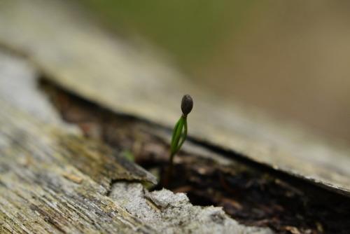 pinophyta tree picea