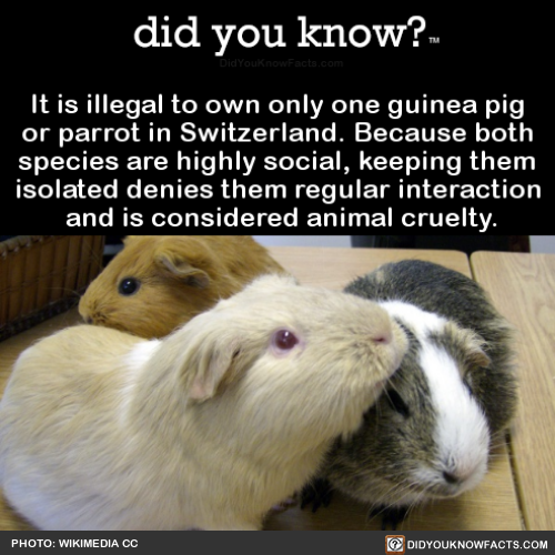 it-is-illegal-to-own-only-one-guinea-pig-or-parrot