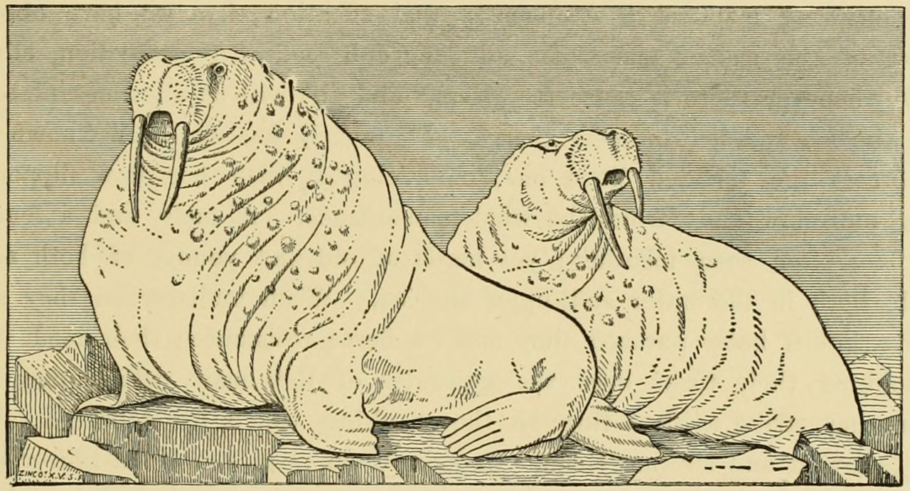 Walruses. The roar of a male sea lion. The marine mammals of the north-western coast of North Ameri…