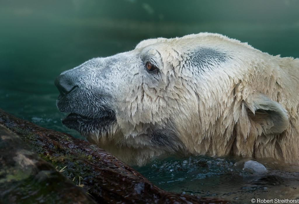 Bear in the Mist by Robert Streithorst OLYMPUS EM-1 Mark II https://flic.kr/p/2ja9Qth #IFTTT#Flickr#bear#cincinnatizoo#fur#lumix100400#mist#polarbear#robertstreithorst#water#zoo