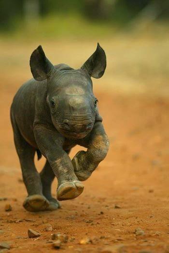 Pequeño bebe de Rinoceronte. Baby Rhino.