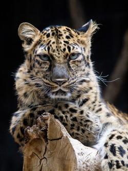 Amur Leopard by nano.maus on Flickr