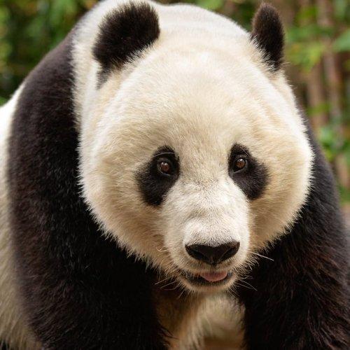 animals bears panda cute san diego