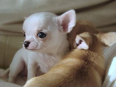 cute pet puppies chiuaua
