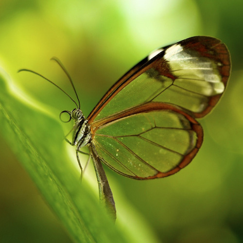 Glass wing butterfly insect nature tropical closeup sunlight green brown white yellow 45mm macro leica g1 panasonic klythawk