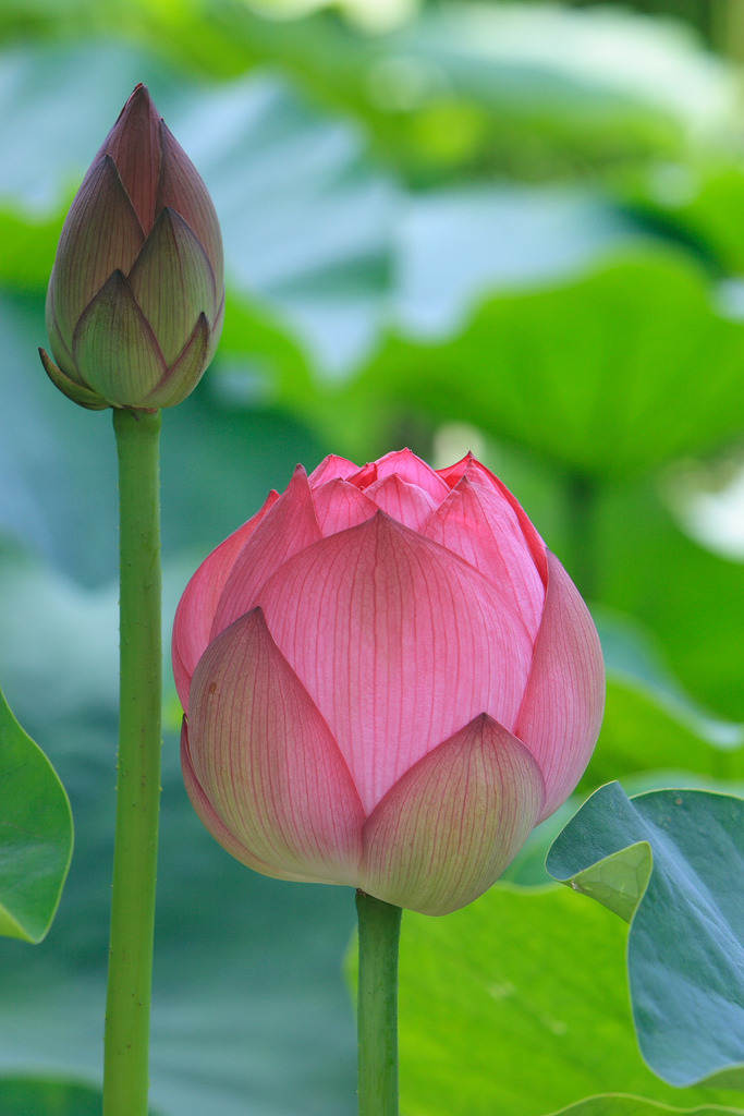 Artemis Dreaming Lotus Flower Meaning Anybody Who Has Ever