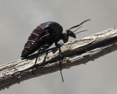blister beetle | Tumblr